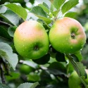 Armagh Bramley Apples